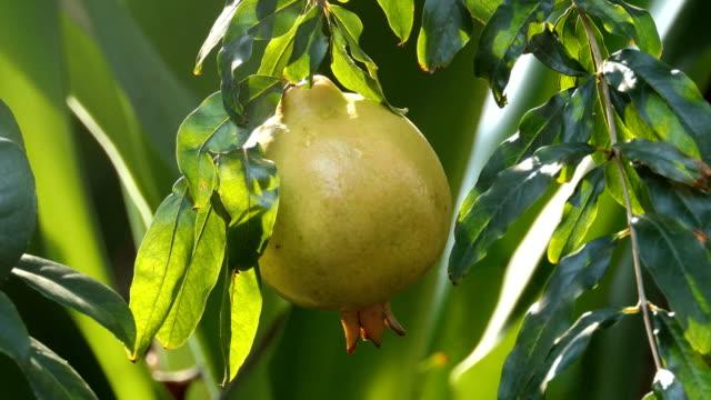 vídeos de stock e filmes b-roll de pomegranate fruit - romã