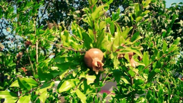 granatapfel käseplatte auf zweige im wind bewegen - nierenkelch stock-videos und b-roll-filmmaterial