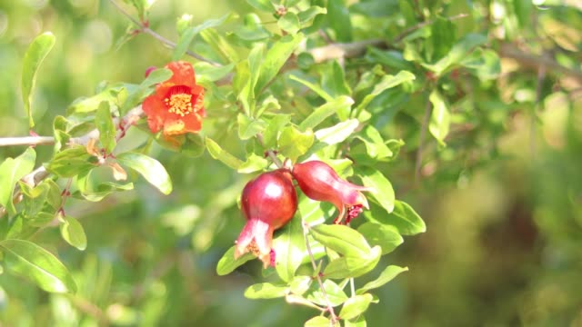 Pomegranate Tree and Nature Background With Beautiful Green Bokeh Circles