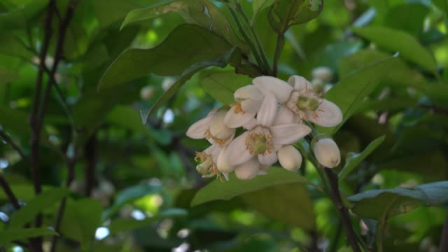 pomelo flower blooming in Spring