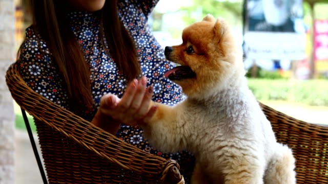 pomeranian dog cute pets eating snack in hand owner - arto inferiore animale video stock e b–roll