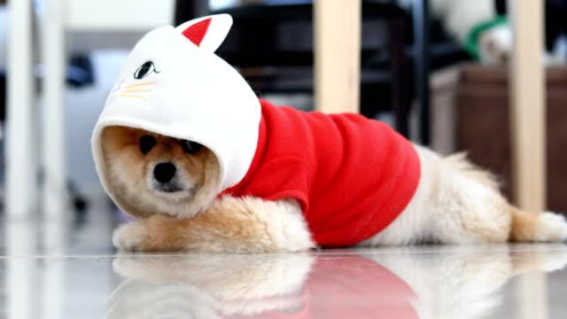vídeos de stock e filmes b-roll de pomeranian dog cute pets - capuz