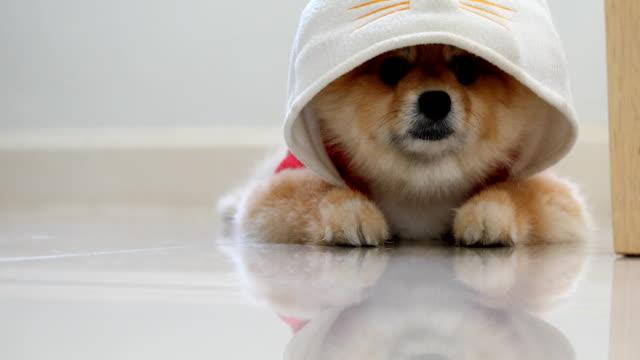 Pomeranian dog cute pets