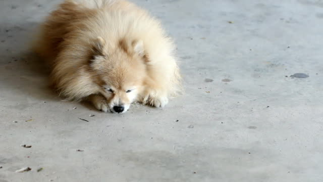 Pomeranian dog is wake up and walk away video