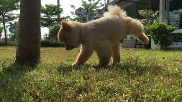 芝生のフィールドの上に小便ポメラニアン犬のおしっこ - 愛玩犬点の映像素材/bロール