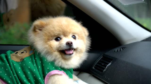 pommerschen hund sitzt im auto und auf kamera - dog car stock-videos und b-roll-filmmaterial