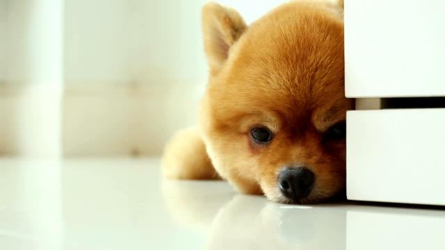 vídeos y material grabado en eventos de stock de pomerania perro dormir en casa - animales de granja