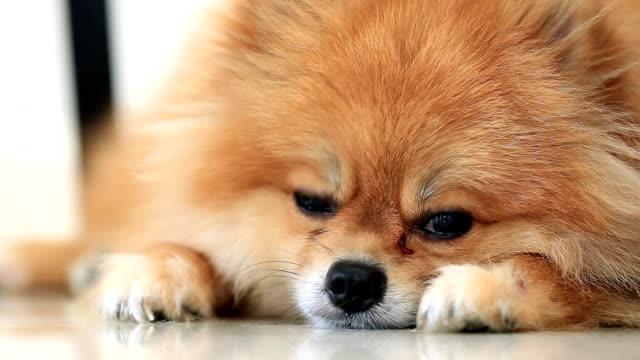 pomeranian dog sleeping video