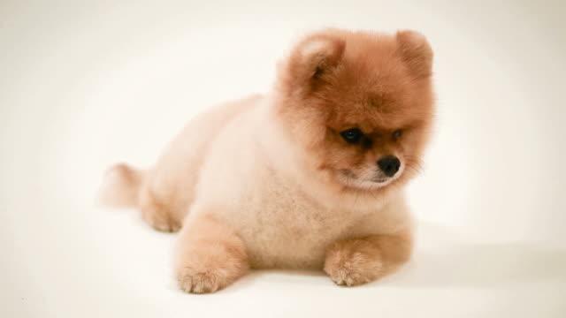 Pomeranian dog video