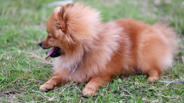 ポメラニアン子犬 - 愛玩犬点の映像素材/bロール