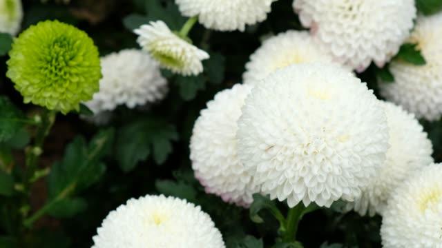 Pompon mum chrysanthemum in garden Pompon mum chrysanthemum in garden bunch stock videos & royalty-free footage
