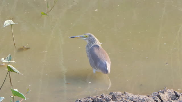 Pond heron bird. video