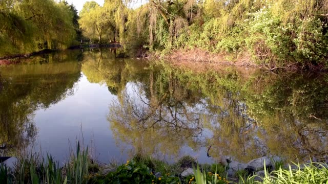 pond in a spring park with reflection of trees and bushes in the water - richmond columbia britannica video stock e b–roll