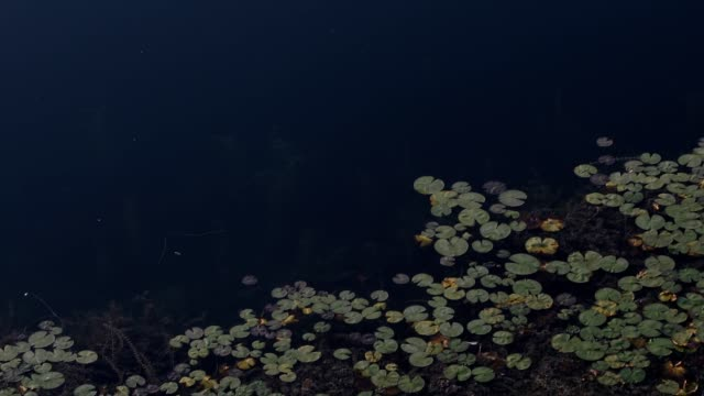 Pond lake river bank vegetation 4k video with dark tranquil water pan down and up