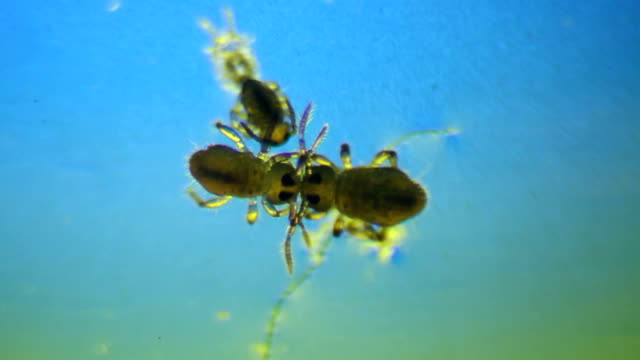 Pond microscopic insects - water aphids Pond microscopic insects - water aphids high scale magnification stock videos & royalty-free footage