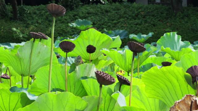 Pond of lotus video