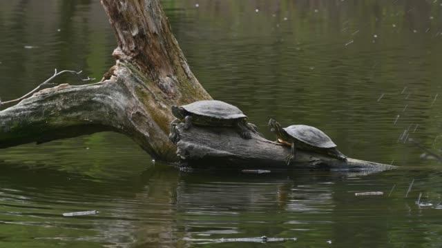 cursori stagno aka tartarughe terrapin dalle orecchie rosse - trachemys scripta elegans - anfibio video stock e b–roll