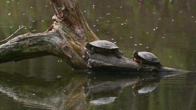 Pond sliders AKA Red Eared Terrapin Turtles - Trachemys scripta elegans