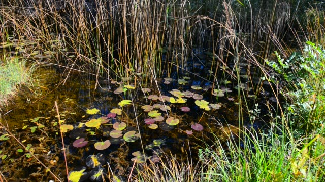 Pond with lilies and leaves of water lilies. Dragonflies fly over the water. Autumn in the forest. Autumn landscape in Switzerland. video