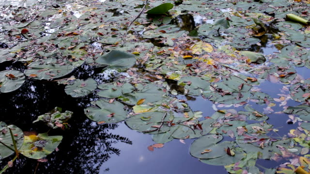pond with water lilies in the park small round pond with water lilies in the park.Full HD 1920 x 1080, 29,97 fps duckweed stock videos & royalty-free footage
