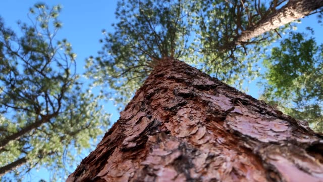ponderosa pine tree details and angles of ponderosa pine tree describe regional details of beautiful nature scenery.  4K resolution video.  sandia mountains.  albuquerque, new mexico. pine tree stock videos & royalty-free footage