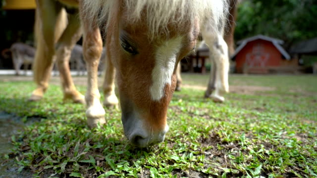 SLO MO Pony is eating grass outdoors
