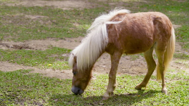 Pony or small horse eating hay stock grass