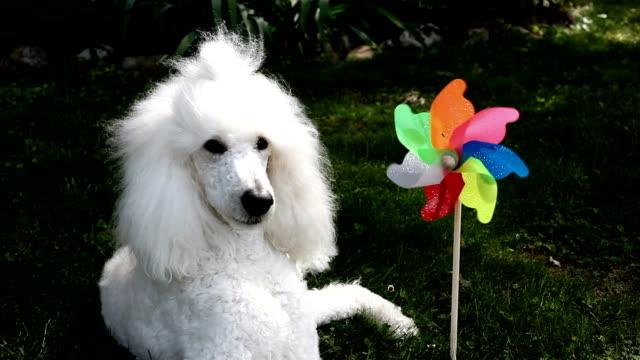 Poodle and Pinwheel