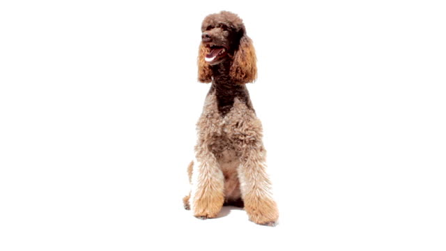 Poodle close up looking around on white background Standard poodle with a beautiful haircut is sitting on a white background and looking around. panting stock videos & royalty-free footage