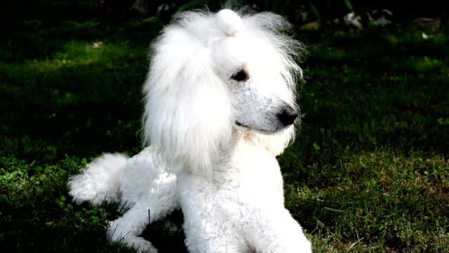 Poodle Laying in the Grass