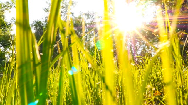 Poplar fluff flies against the backdrop of the sun's rays. The picturesque landscape. Slow-motion filming. The camera moves through the grass video