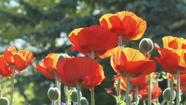 Poppies 01 video