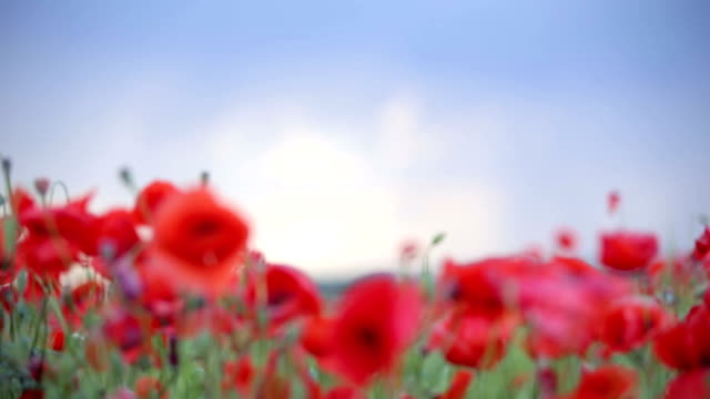 Poppies. Background video
