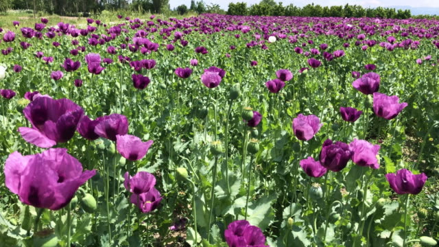 Poppies blooming in purple color