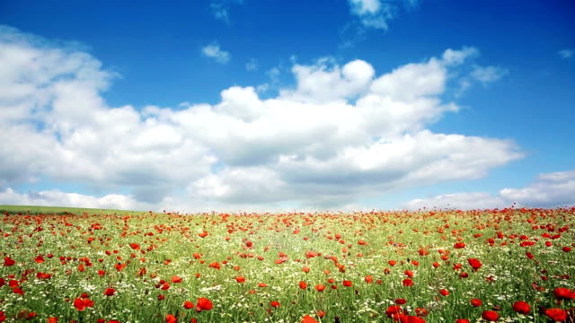 Poppies field and blue sky video