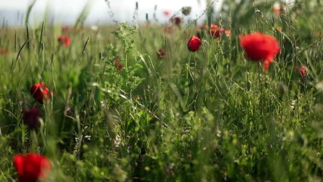 vídeos y material grabado en eventos de stock de campo de amapolas al atardecer - flor silvestre