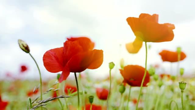 Poppies field in rays sun video