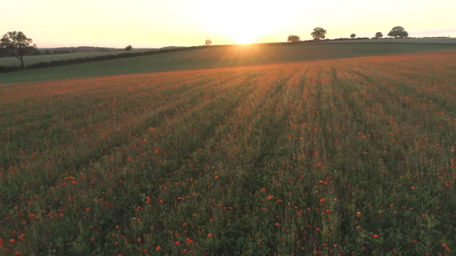 Poppies in a Farm Field at Sunset video