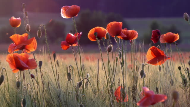 Poppies in life video