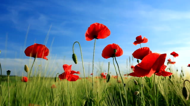 Poppies in the wheat field video