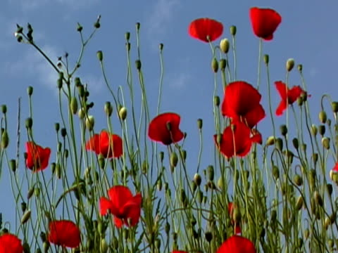 Poppies NTSC video