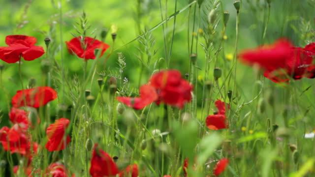 dolly: poppies - 20 sekunder eller längre bildbanksvideor och videomaterial från bakom kulisserna