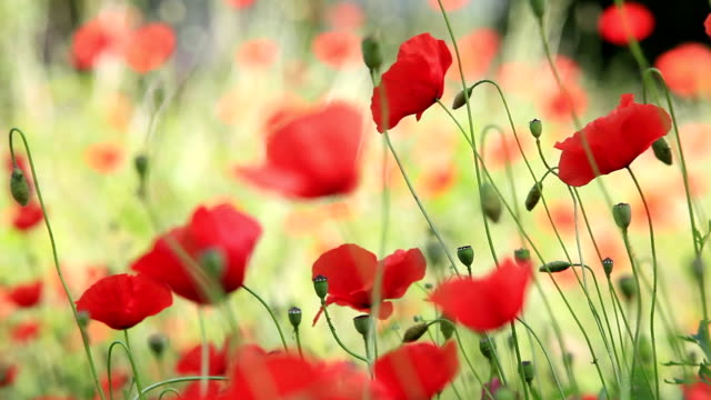 HD: Poppies video