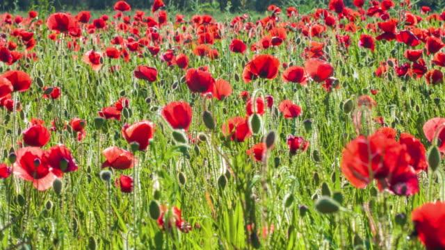 vídeos y material grabado en eventos de stock de poppies - amapola planta