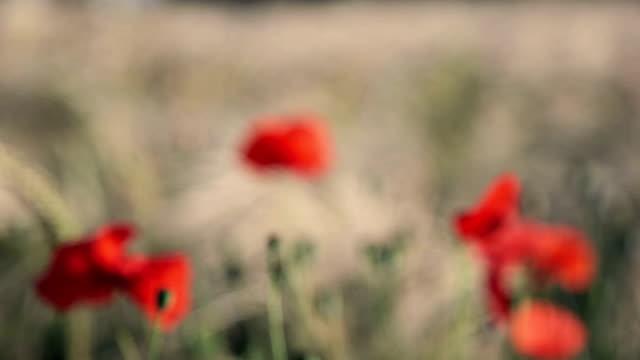 Poppy Blossom video