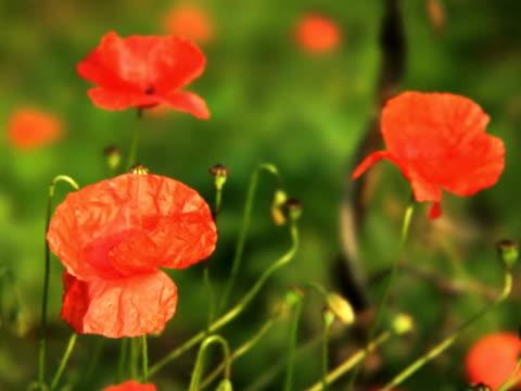 PAL: Poppy bud video