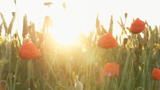 hd dolly: poppy field against sunlight - vild blomma bildbanksvideor och videomaterial från bakom kulisserna