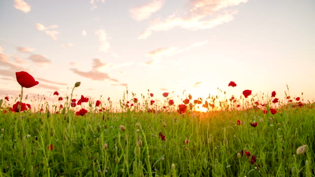 ms ds poppy field against the sun - spring stock videos & royalty-free footage