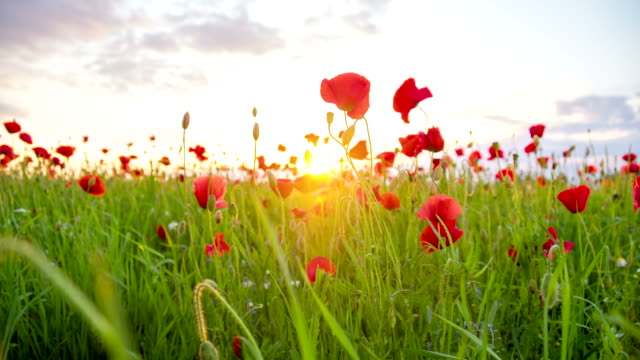 MS DS Poppy Field Against The Sun video