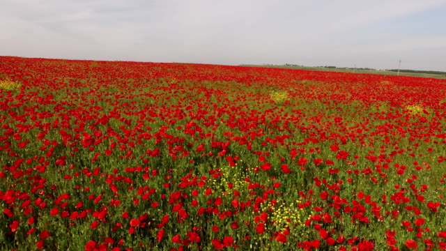Poppy Field As Symbol Of Remembrance video